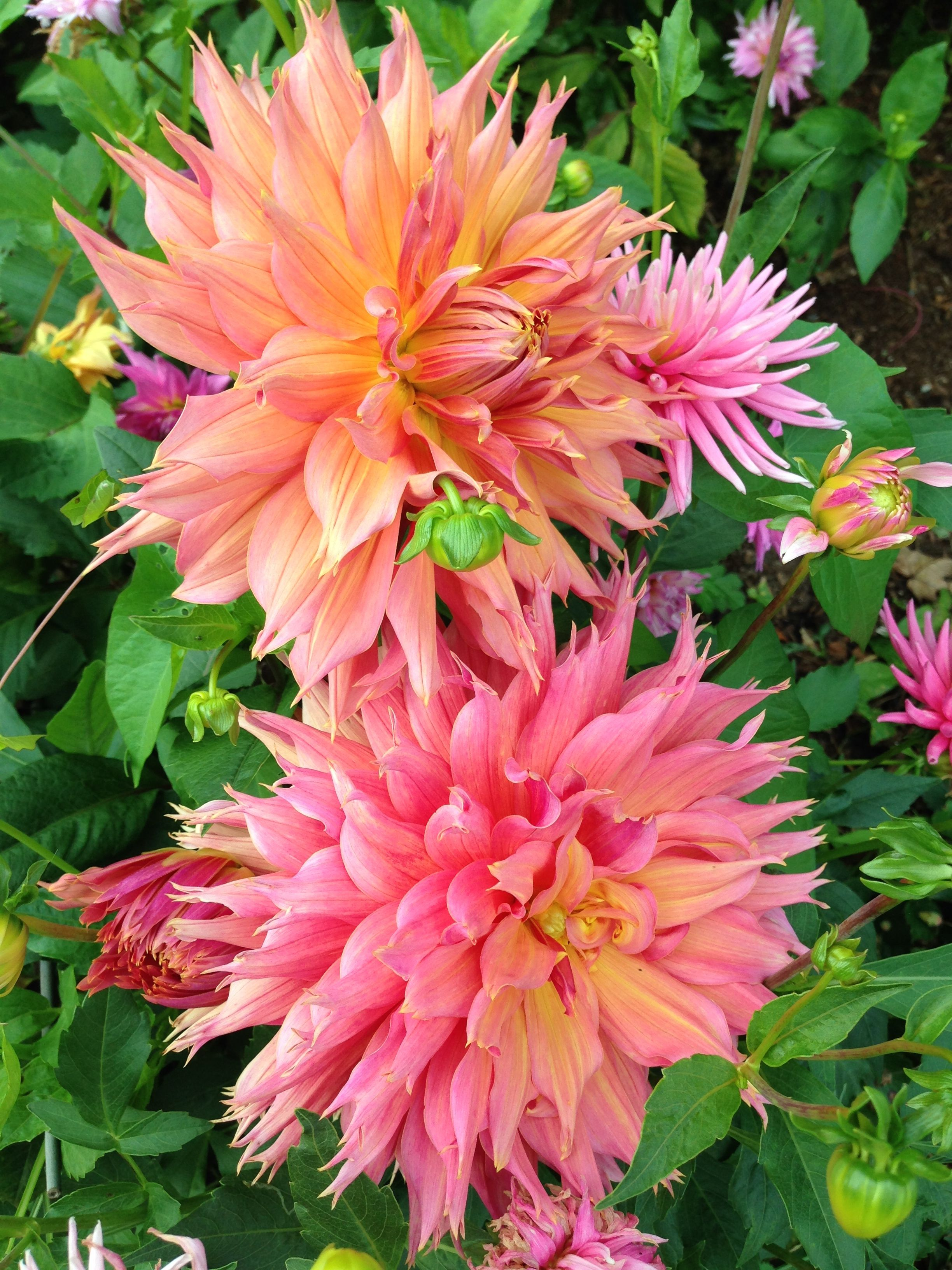 Dahlias in one of the gardens i maintain on nantucket dahlias dahlias in one of the gardens i maintain on nantucket dahlias flowers garden izmirmasajfo