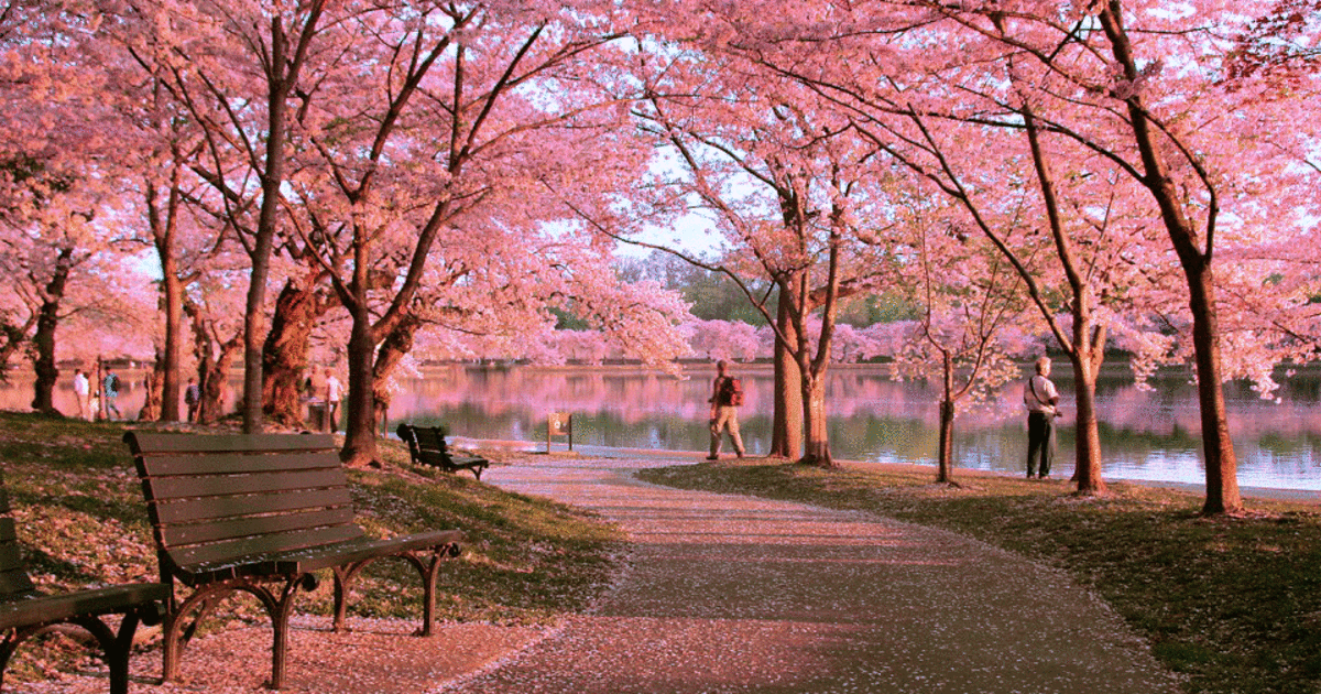 Image Result For Cherry Blossom Blossom Trees Cherry Blossom Festival Cherry Blossom Tree