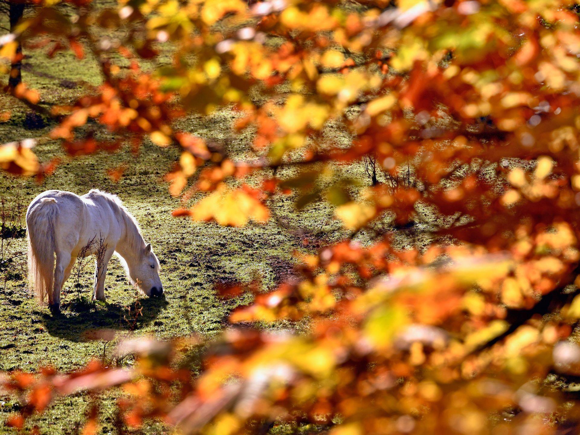 A pony grazes in the village of Strathyre  on Oct.