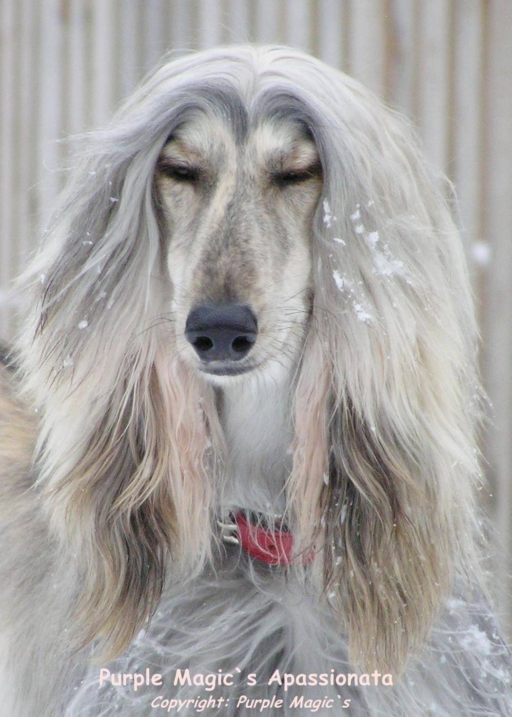856805 581391988541654 1244814453 O Jpg 998 1 396 Bildepunkter Afghan Hound Saluki Dogs Hound Dog