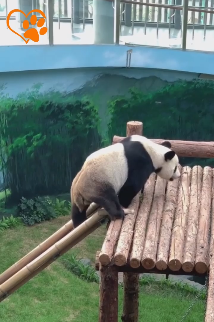 Funny Panda Compilation 2019 - Love Animals | Part 1 #funnyanimalpictures
