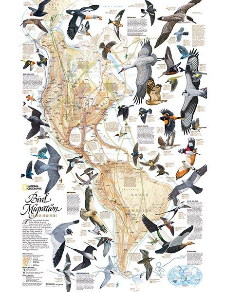 300 Maps Of Everything You Can Think Of Bird Migration Bird Migration Map Bird Illustration