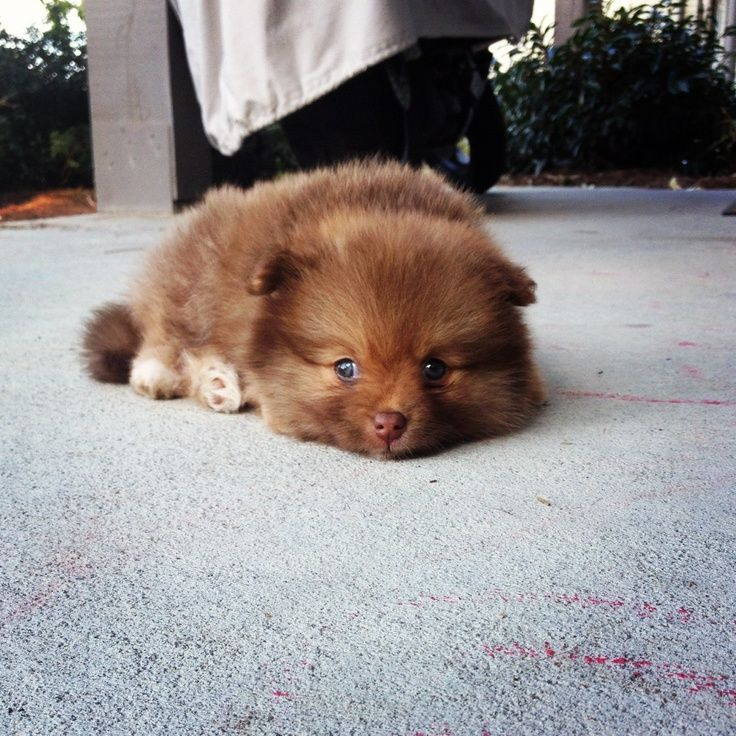 Brown Teacup Pomeranian Fluffy Animals Baby Puppies Pomeranian Lovers