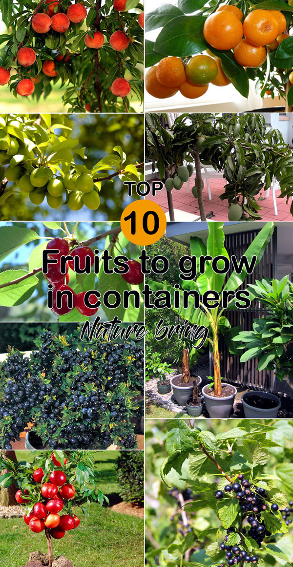 Top 10 Fruits To Grow In Containers Top Fruit Plants Fruit Trees Container Gardening Fruit Fruit Tree Garden Potted Fruit Trees