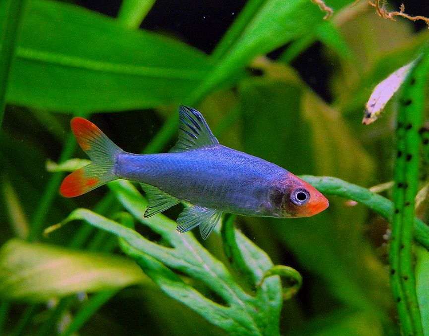 Asian Rummy Nose Rummy Nose Rasbora Aquarium Fish Tetra Fish Tropical Fish Aquarium