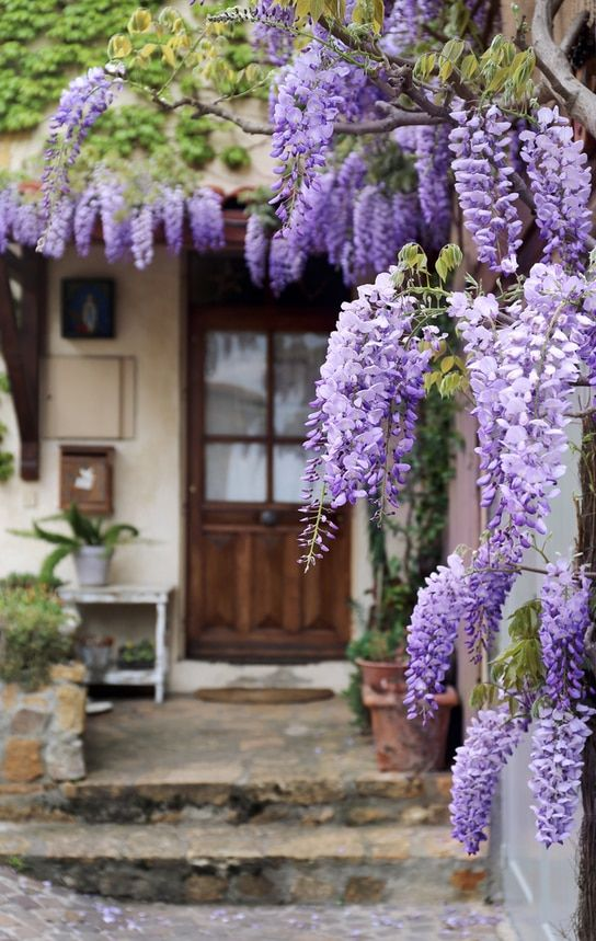 Perennial Grab Bag 25 Mixed Perennials Perfect For Your Zone Blooming Age Plants Purple Wisteria Wisteria Plant Flower Garden