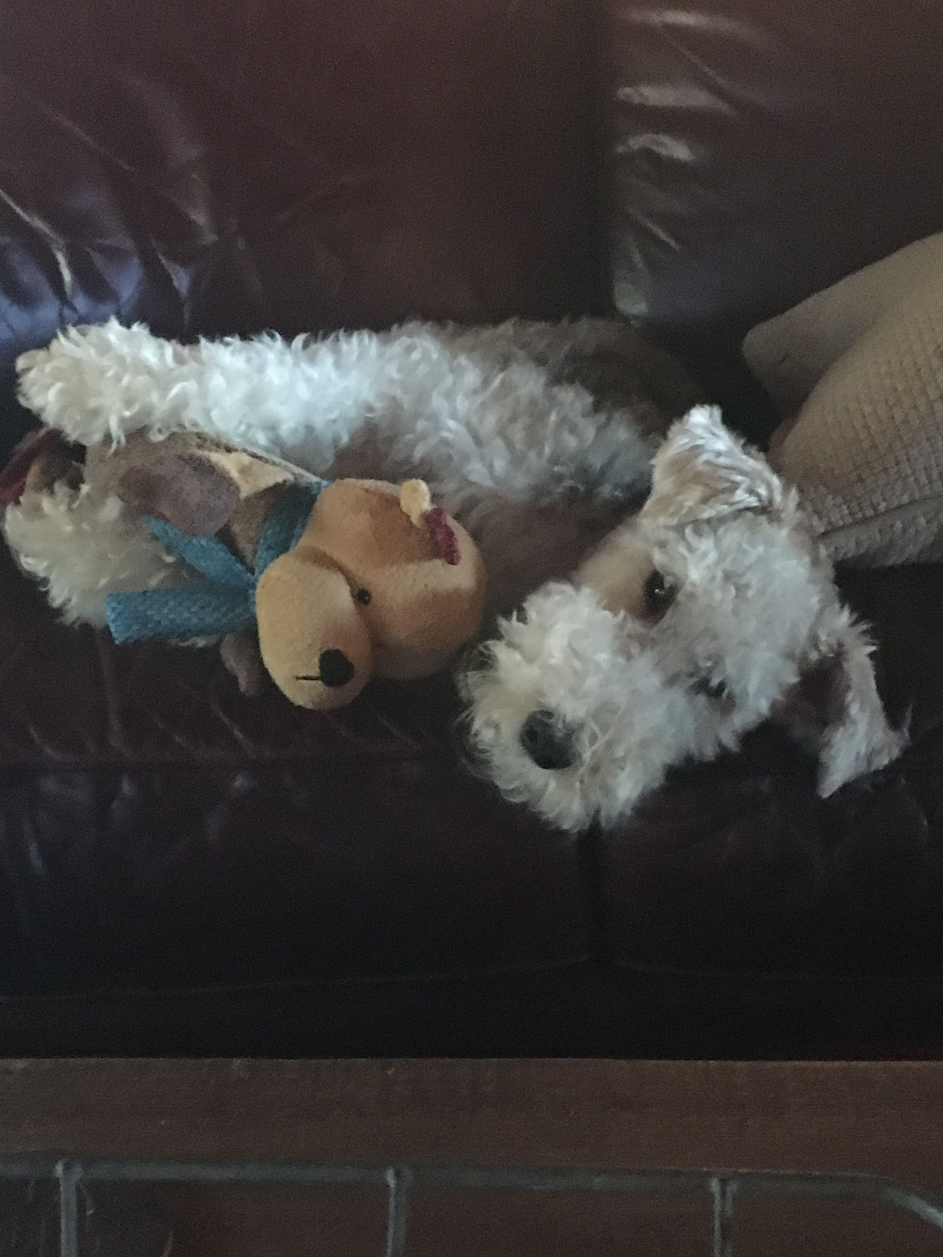 Loves his new toy! Dex the wire fox terrier!