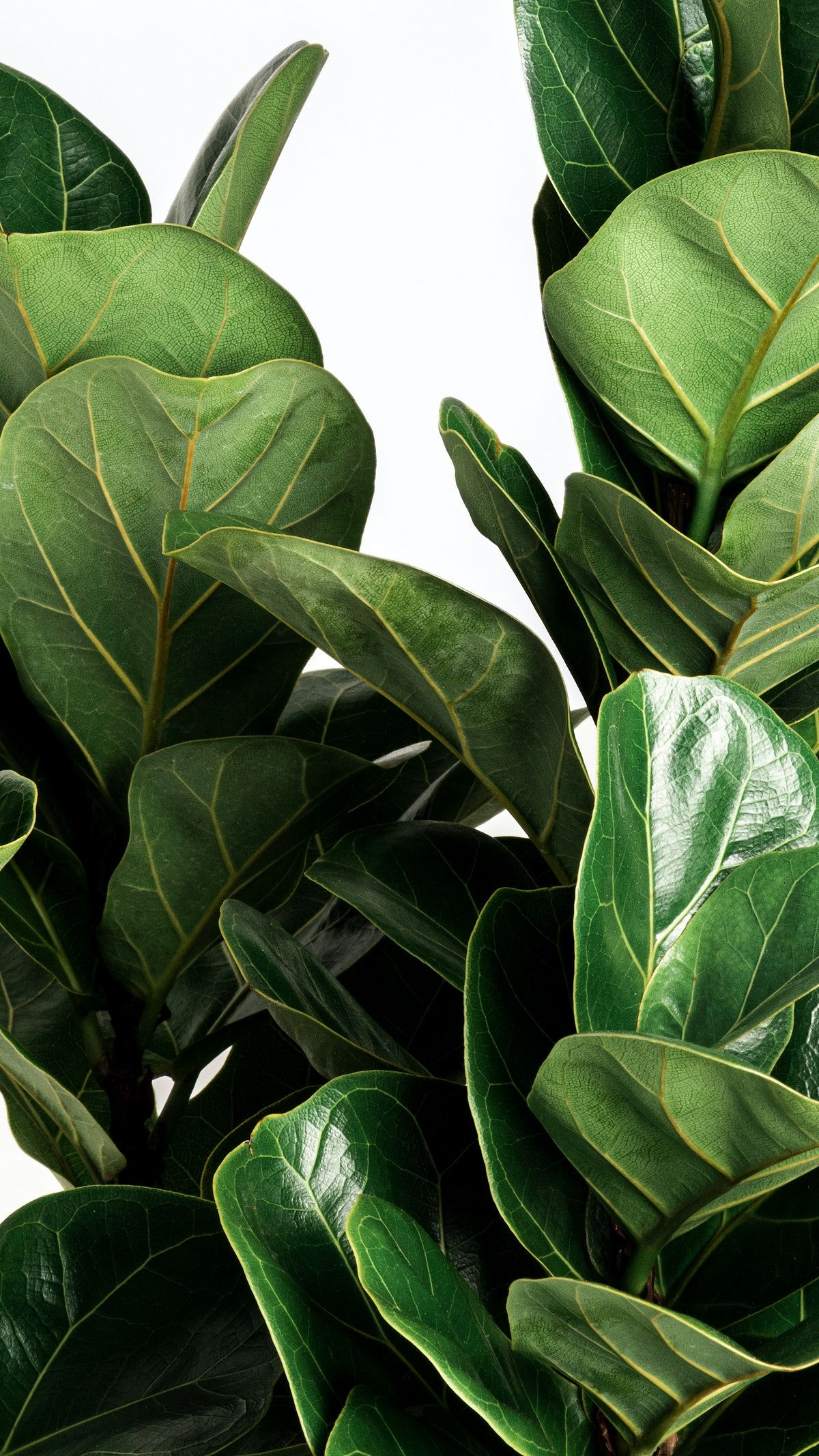 Download premium image of Fiddle-leaf fig plant on an off white background by Jira about iphone wallpapers, Fiddle leaf fig, fiddle leaf fig plant, green, and aesthetic 2355048