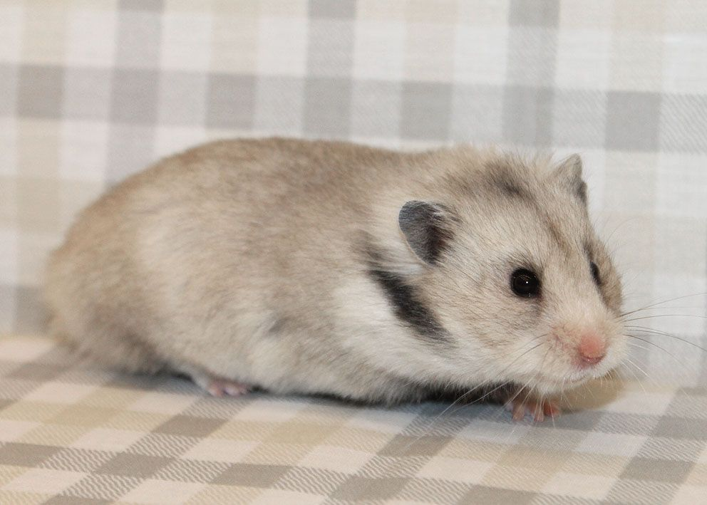 Long Hair Heterozygous Silver Grey Syrian Hamster Female