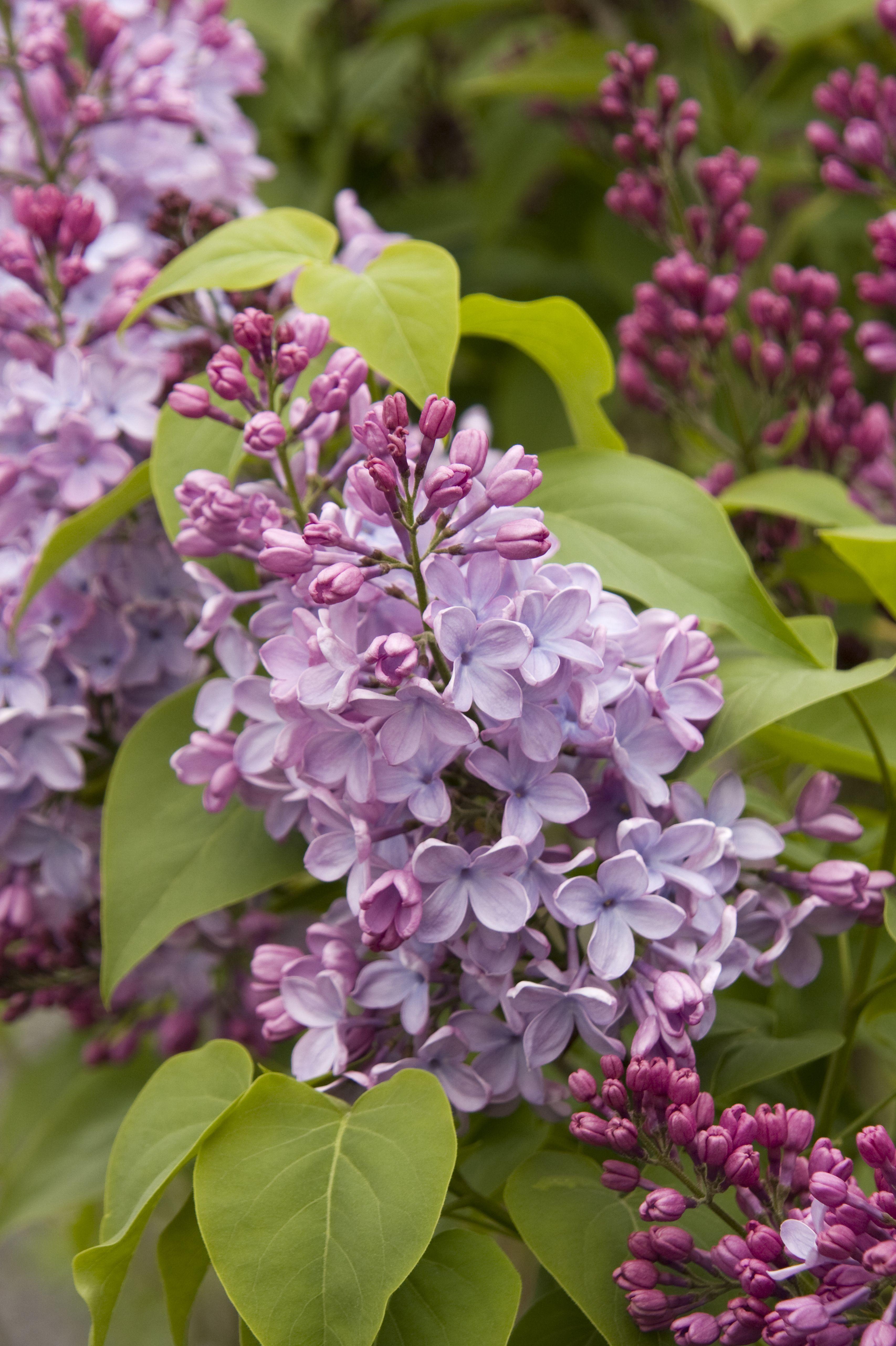 Blue Skies Lilac Monrovia Lilac Plant Flowering Shrubs Lilac