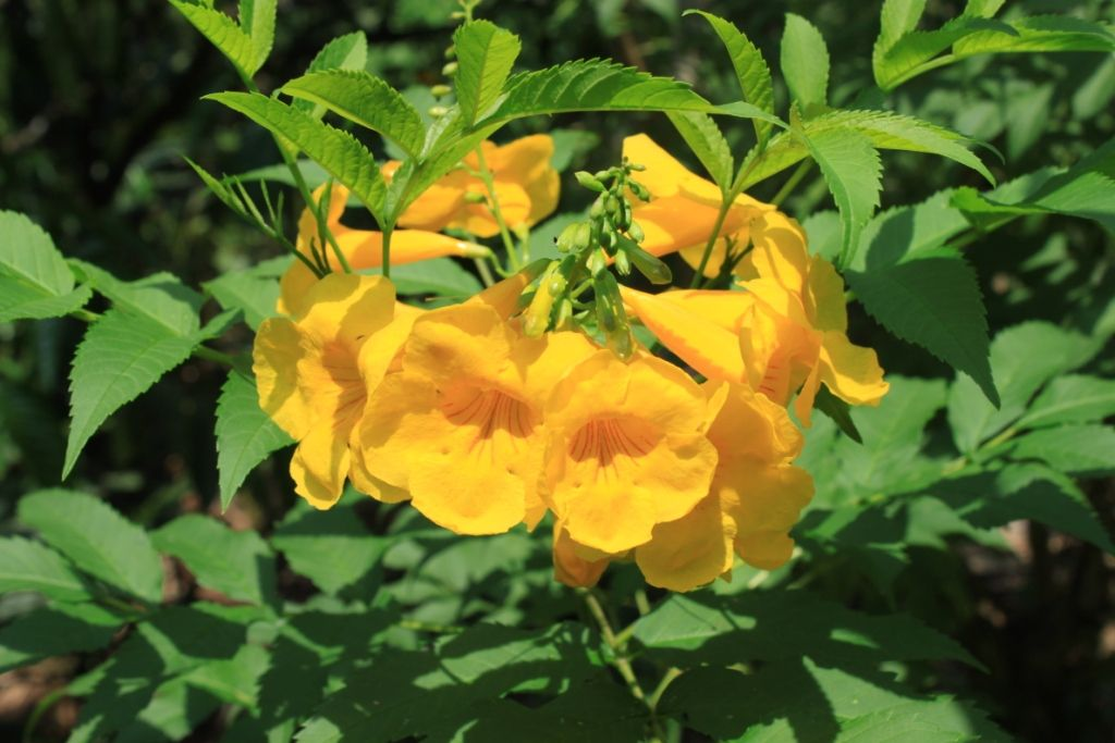 Yellow Bell Flower Tecoma Stans Flowers Bells Flowers Belle