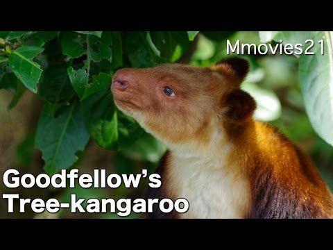 Goodfellow's Tree-kangaroo セスジキノボリカンガルー (ズーラシア)