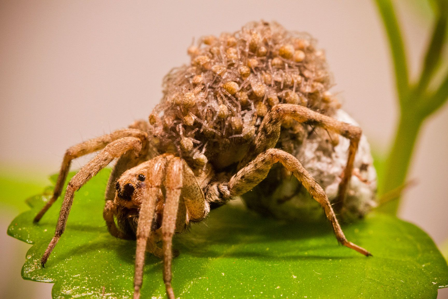 Our resident Carolina Wolf Spider has been carrying an egg