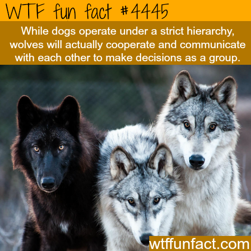Difference Between Dogs And Wolves - WTF Fun Facts