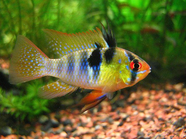 German Blue Ram Aquarium Fish Tropical Fish Tanks Tropical Fish