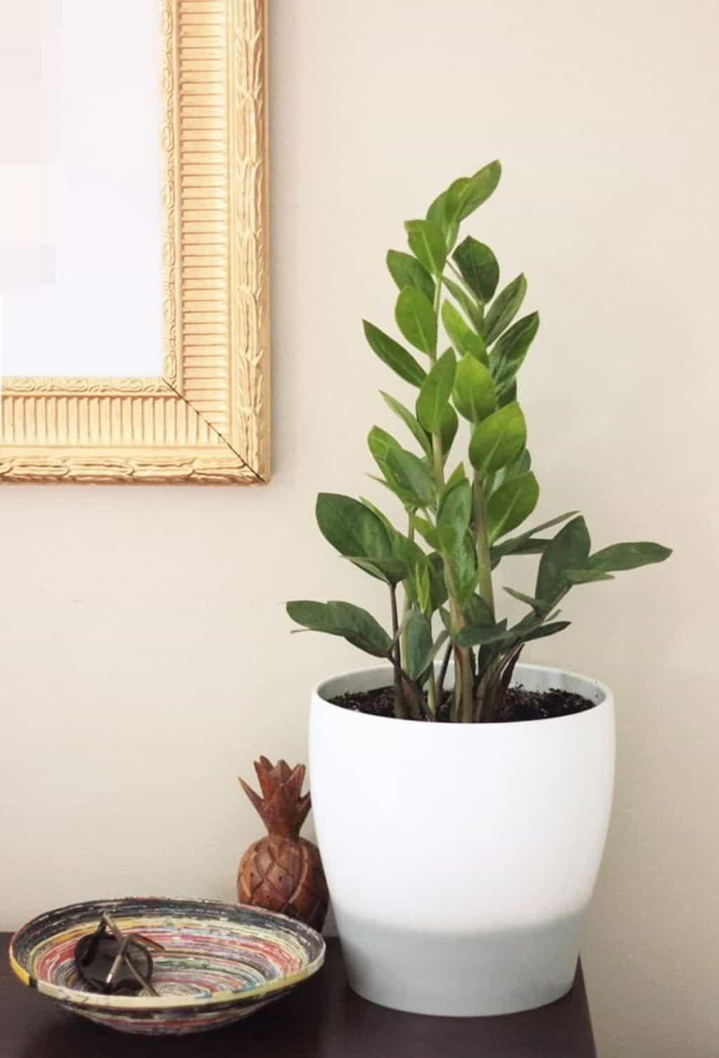 die besten 25 zamioculcas pflege ideen auf pinterest geigen blatt feigenbaum geige blatt. Black Bedroom Furniture Sets. Home Design Ideas
