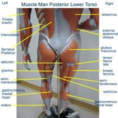abdomen muscle model labeled - Google Search | anatomy | Pinterest ...