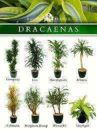 Dracaena Varieties Plants Pinterest Plants Indoor Plants And