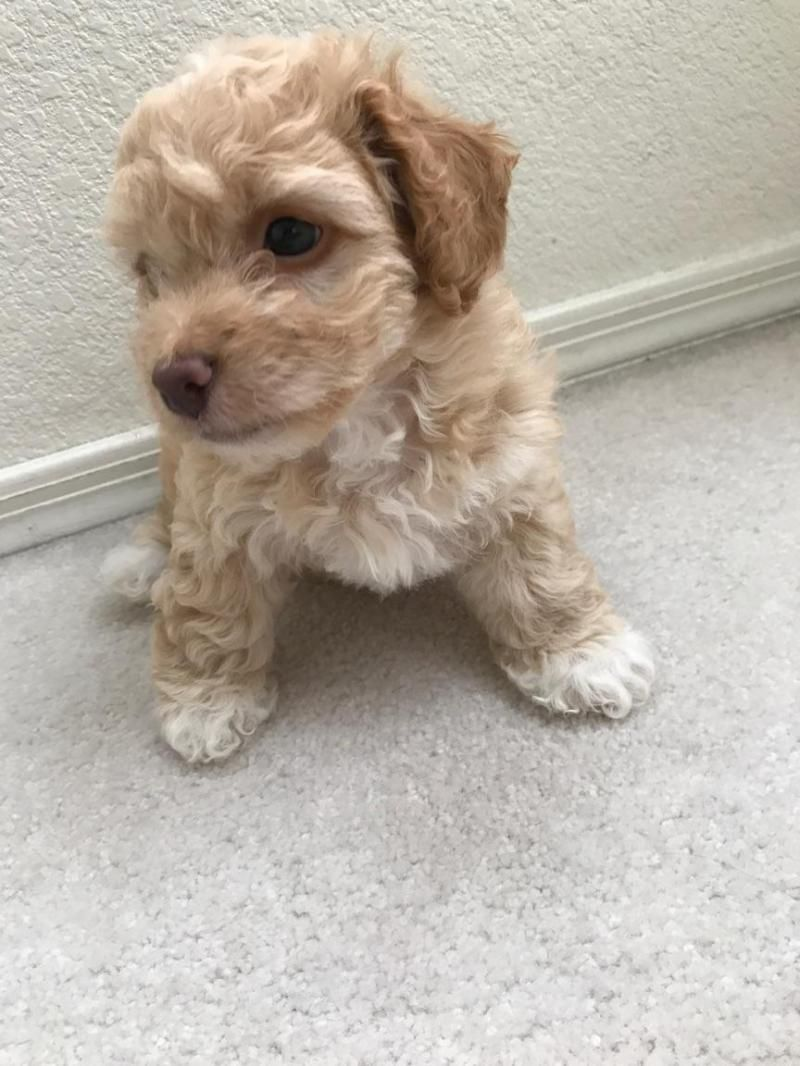 Adopt Nilla on Petfinder Cute puppies, Poodle dog