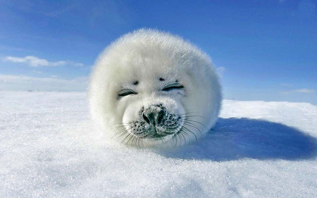 Baby seal,harp seal,artic seal,baby animals,most adorable ...