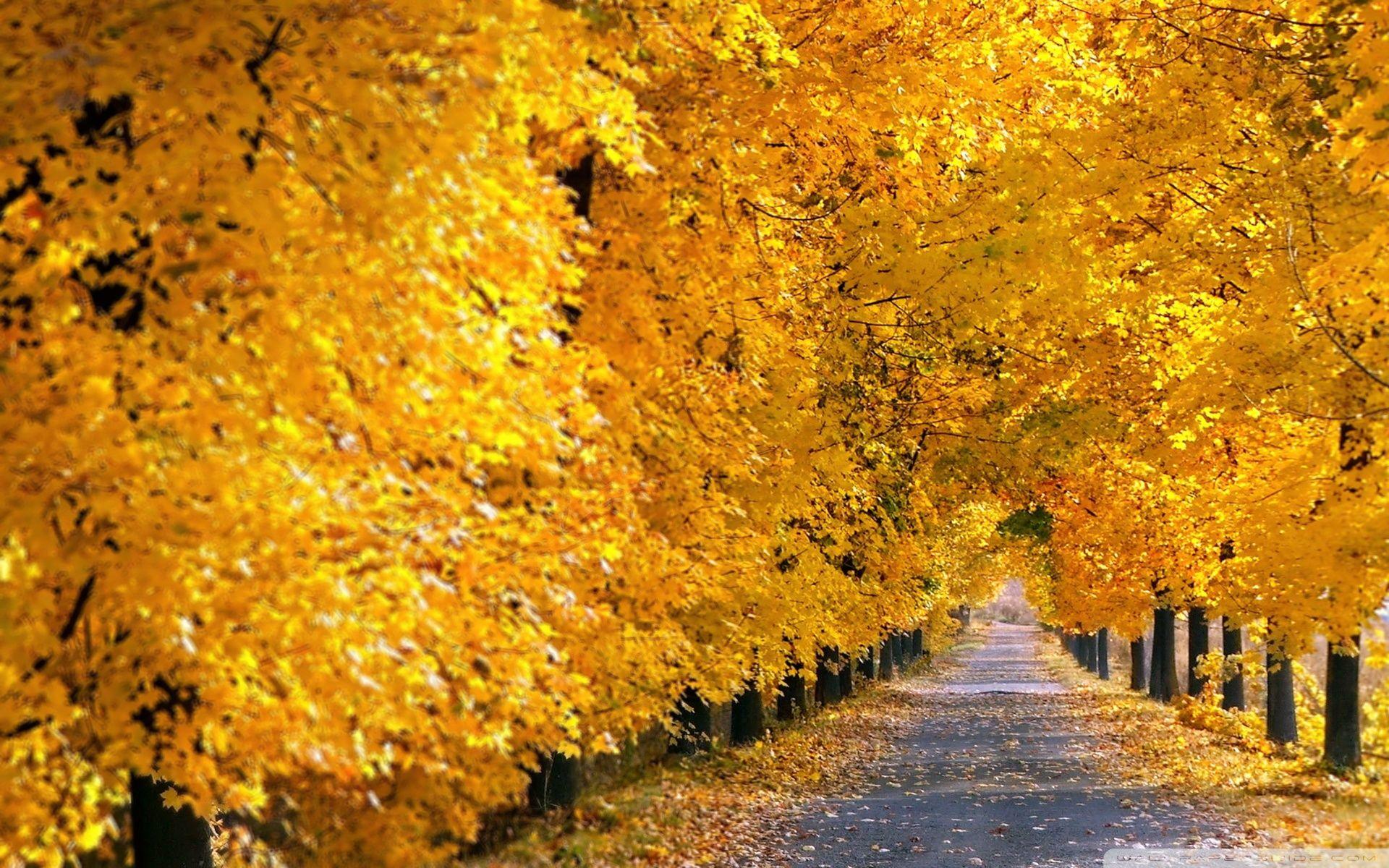 Fall Tree Pathway Hd Desktop Wallpaper High Definition Yellow Tree Autumn Scenery Autumn Trees