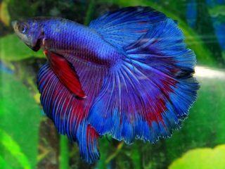 purple betta fish blue purple male halfmoon betta live fish