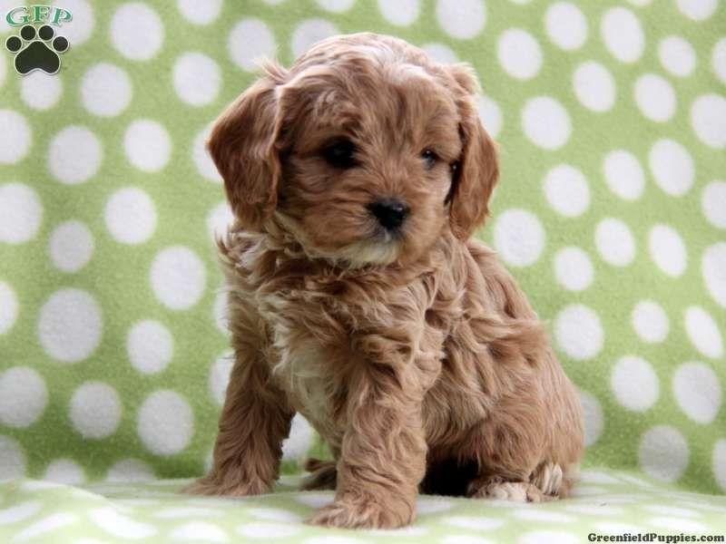 Cavapoo non shedding pup so cute puppies