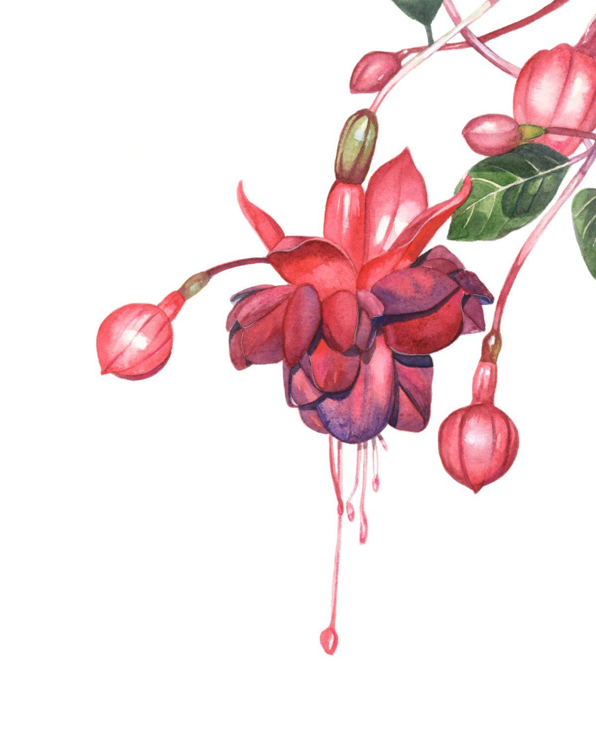 Fuchsia Watercolour Painting Print F018dl Downloadable Fuchsia