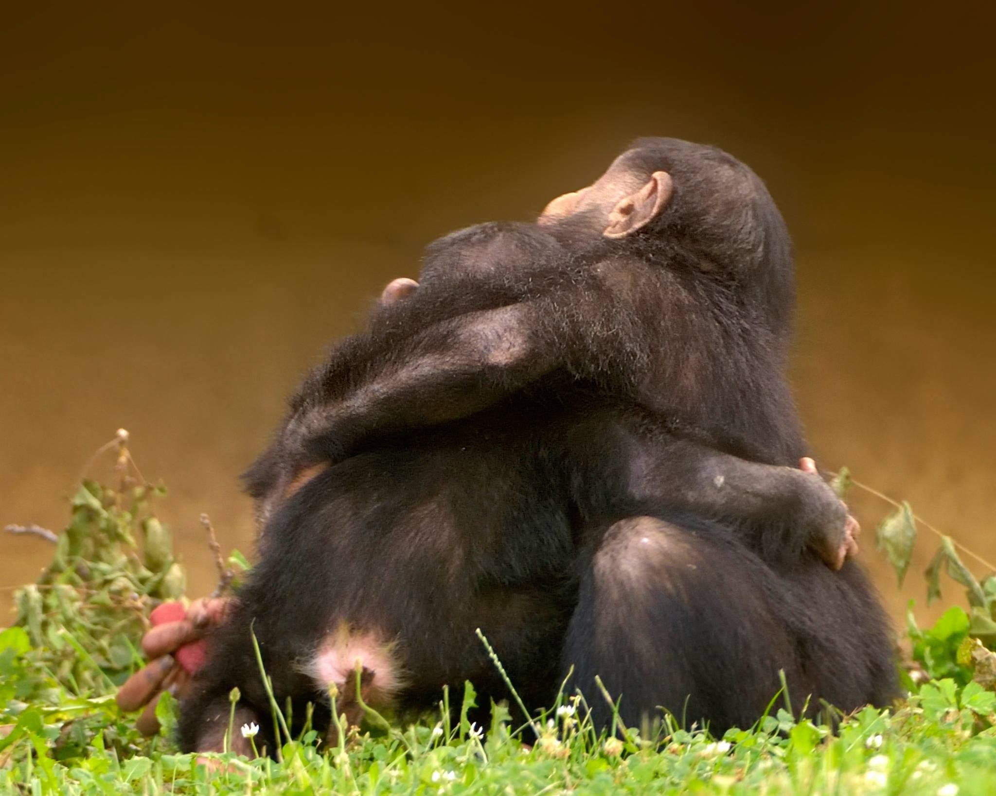 Chimp hug | Critters | Baby chimpanzee, Ape monkey, Primates
