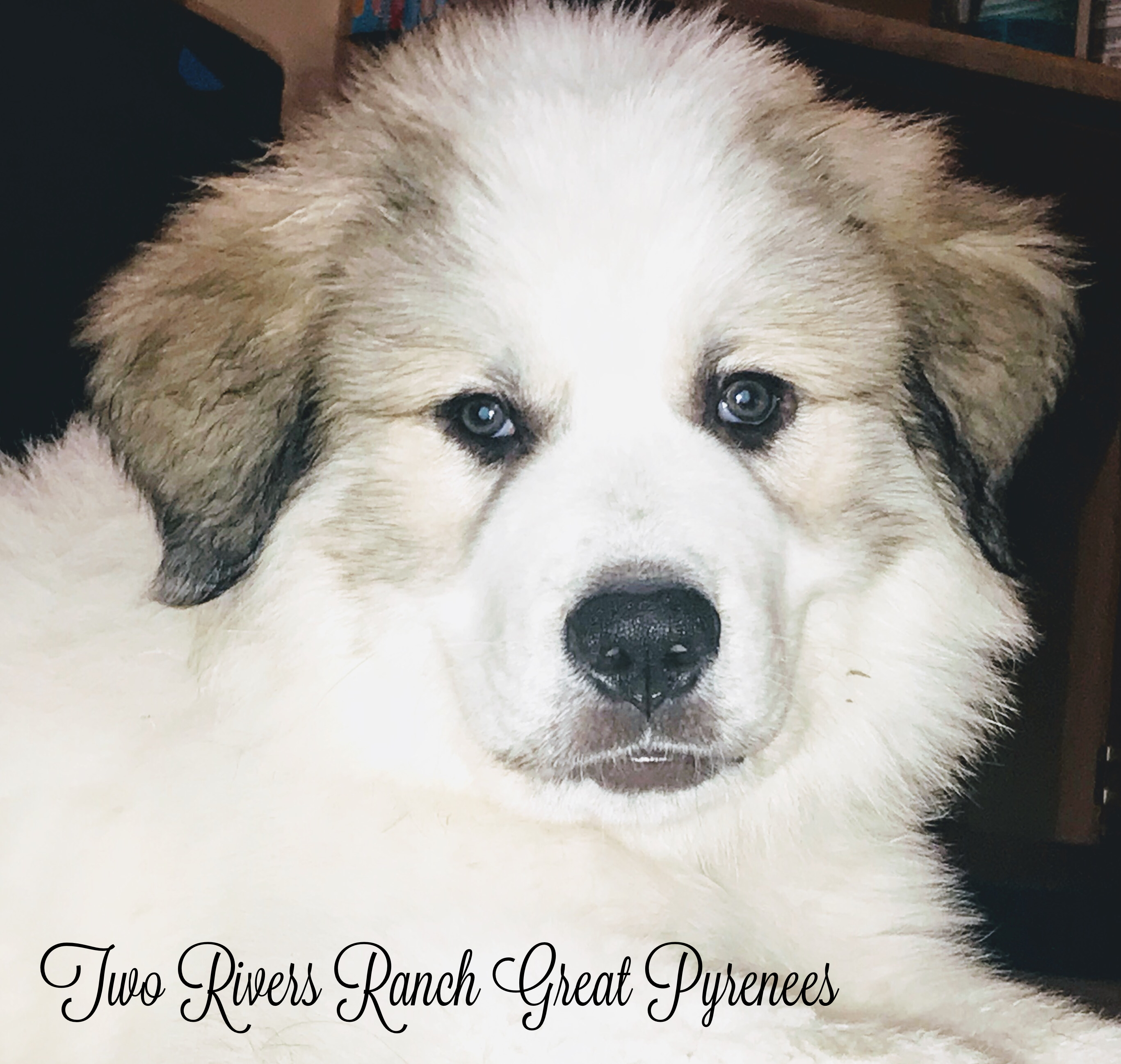 Pin by Two Rivers Ranch Great Pyrenees on Two Rivers Ranch Great