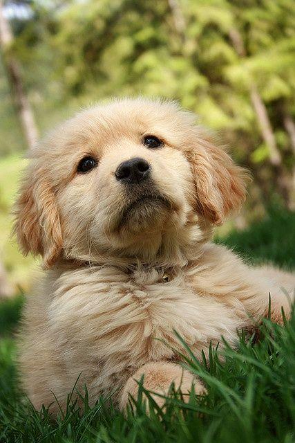 Golden Retriever Puppy Hundebabys Tierbilder Tiere Hund