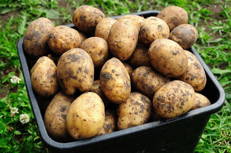 Plantera potatis i hink