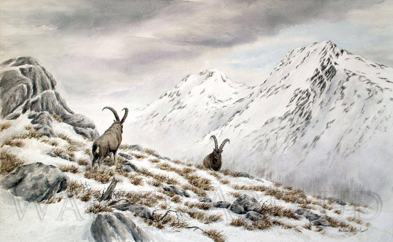 Alpin Ibex Bouquetin Des Alpes Aquarelle Walter Arlaud