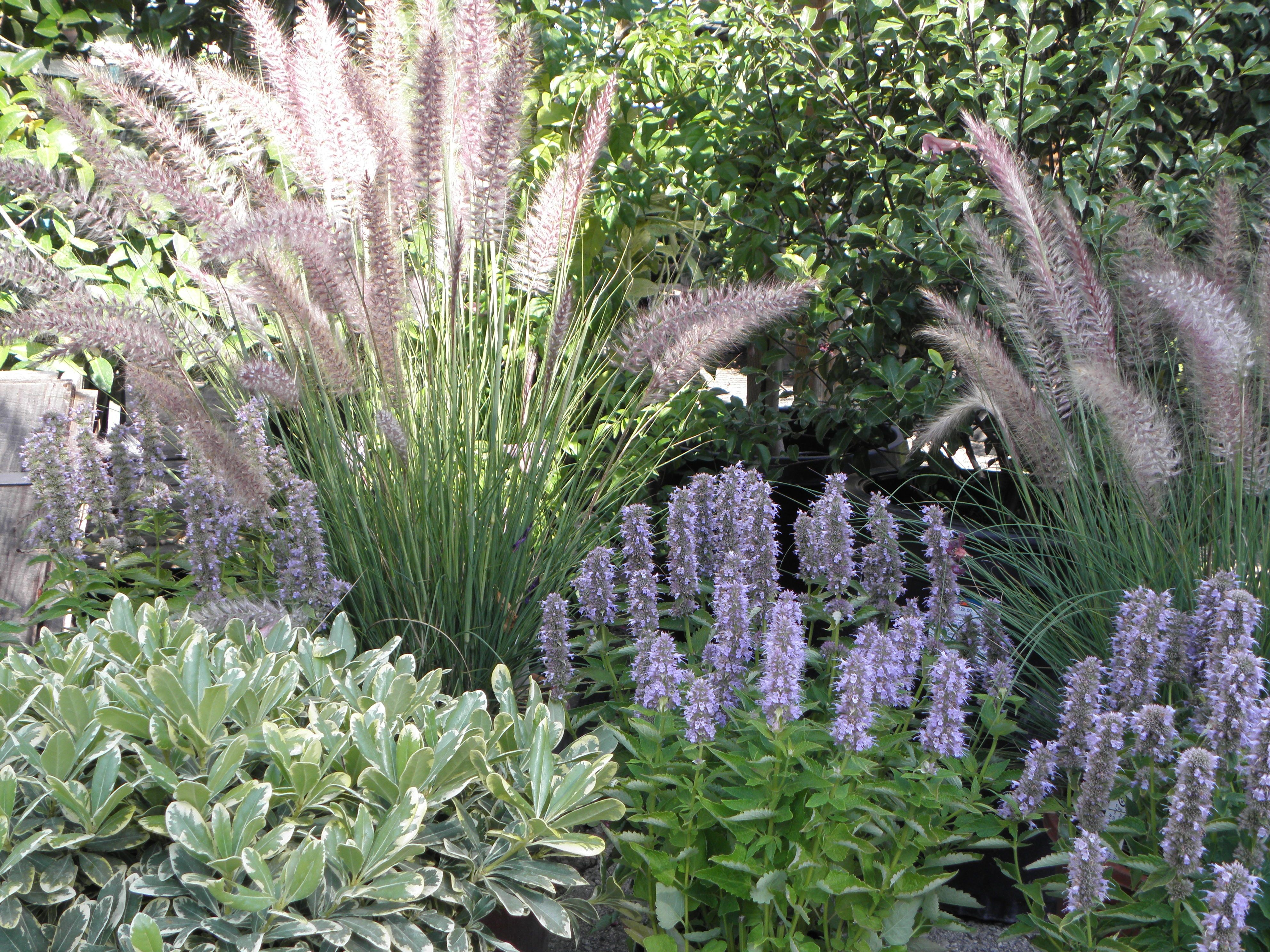 Another type of miscanthus grass with sage.