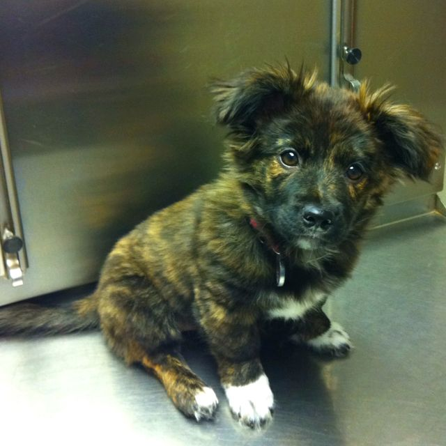 Sheltie-chihuahua mix....cutest dog ever :)