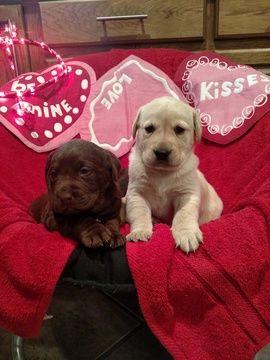 Labrador Retriever Puppy For Sale In Hickory Nc Adn 22691 On Puppyfinder Com Gender Male Age 4 W Labrador Retriever Labrador Retriever Puppies Lab Puppies