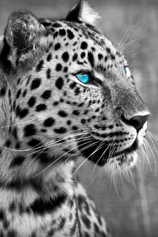 Blue Eyes Leopard Tattoos Snow Leopard Drawing Leopard Drawing