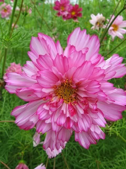 List of pictures double cosmos gardening flowers plants trees list of pictures double cosmos cosmos flowerspink mightylinksfo Image collections