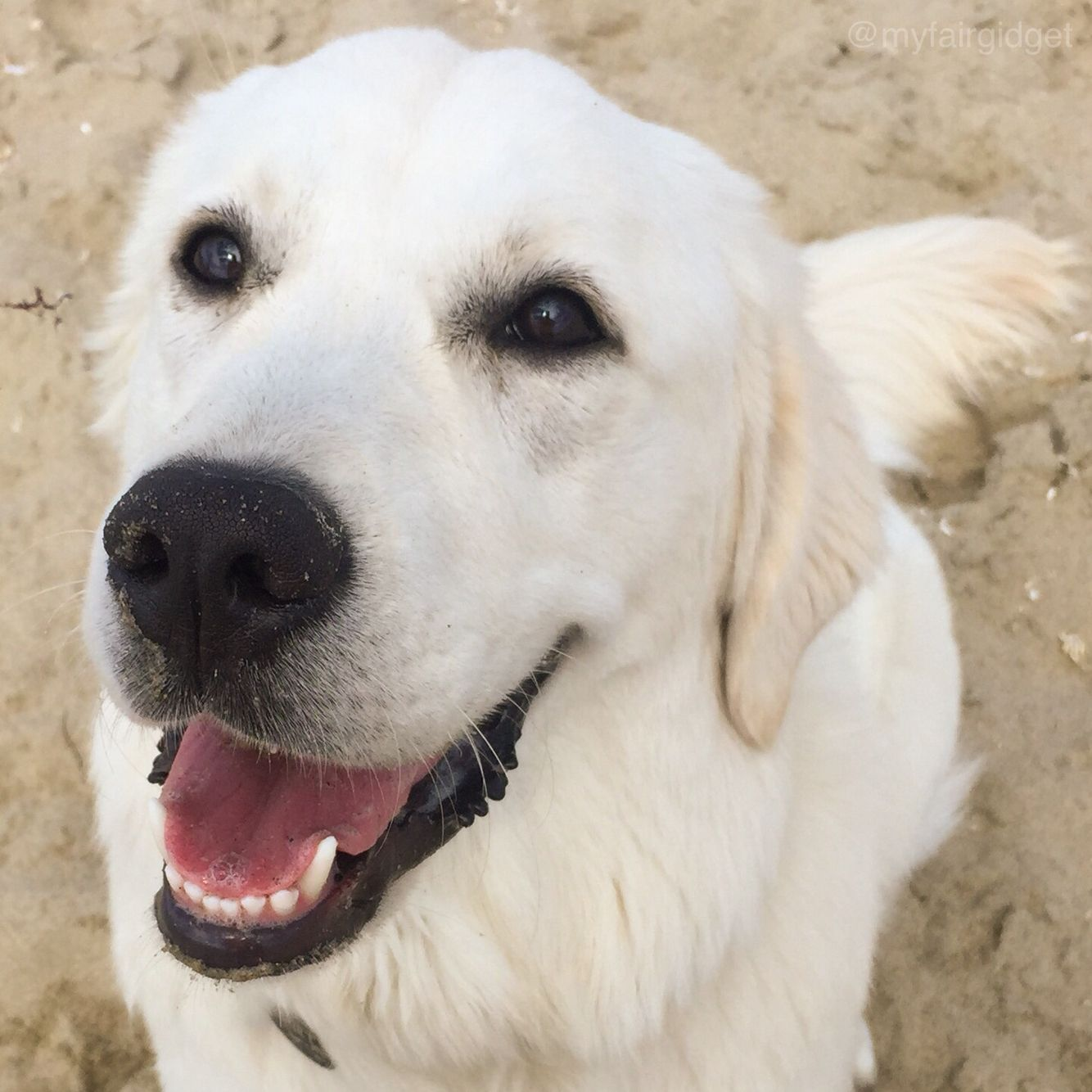 Smile Gidget Lokelani The Little Puppy With Big Ideas An English Cream Golden Retriever Loving Living In Beautif Golden Retriever Little Puppies Puppies