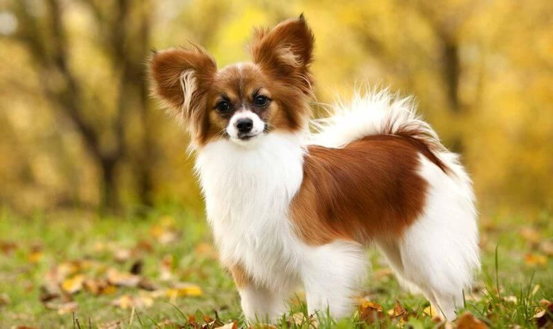 Easiest Dog Breeds To Train Top 12 Listed Here Cute Small Dogs