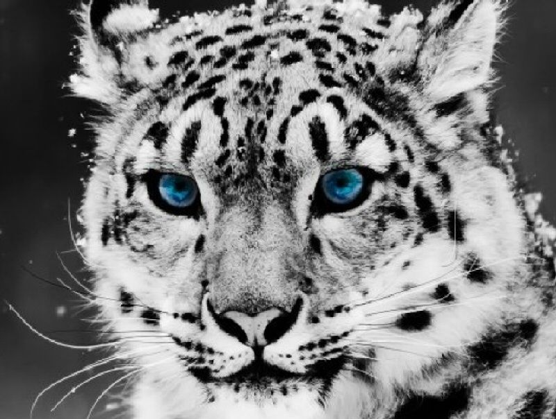 I ❤ big cats . . . Spectacular blue eyes !
