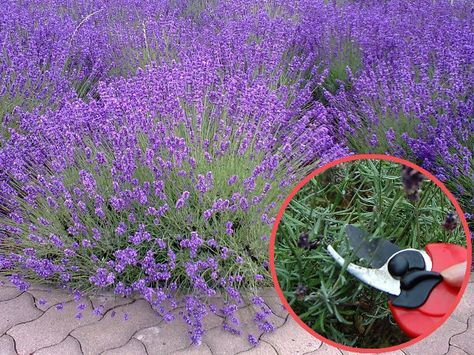 Przycinanie Lawendy Plants Lavender Garden Long Blooming Perennials