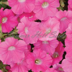 Petunia Shock Wave Rose  $3.99  With a growth habit similar to Easy Wave petunias, this new variety flowers early on tightly branched 8-10 inch well mounded plants. In a shade of bright vibrant rose, Shock Wave produces a mass of petite 1½ inch blooms that literally cover the foliage. An ideal choice for baskets and containers or as a focal point in beds, this new variety blooms continuously throughout summer and well into fall. Pkt. 15