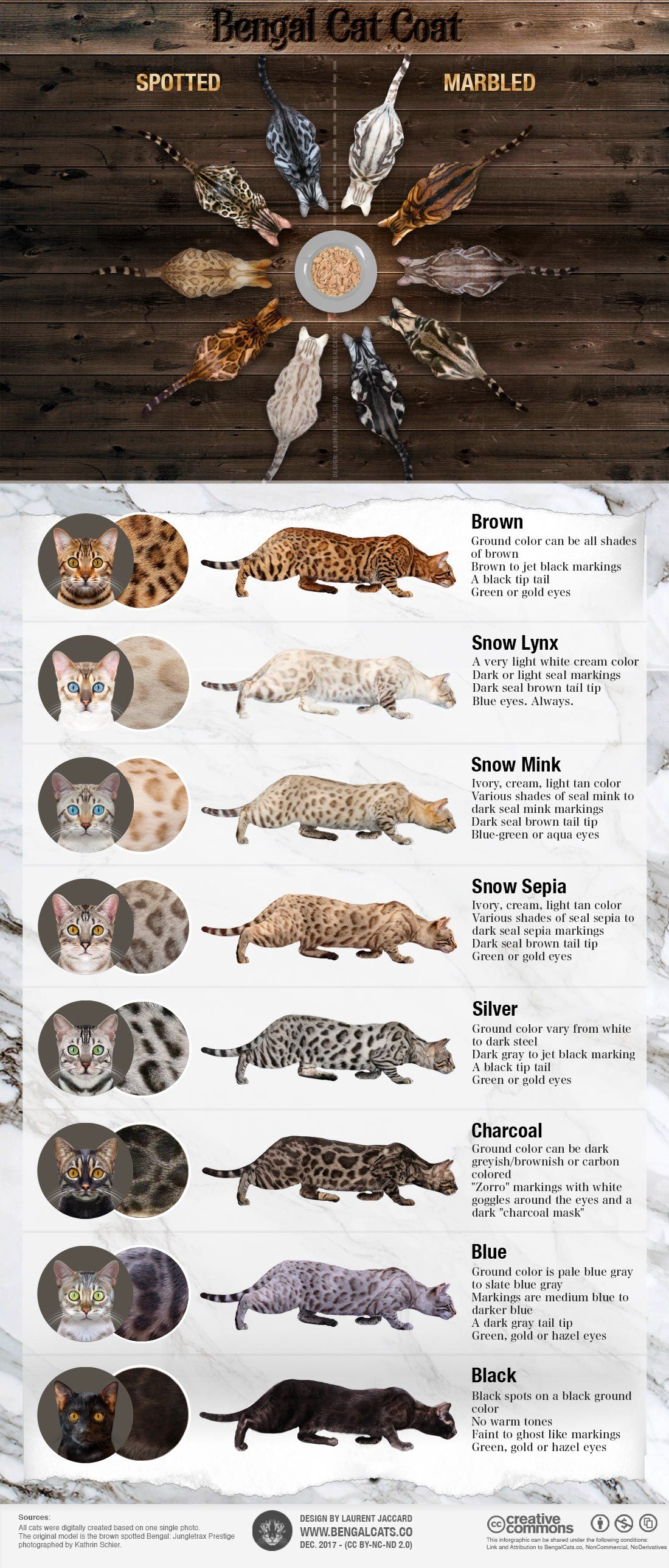 Infographic showing all the colors and patterns of Bengal cats ...