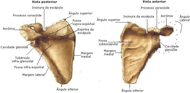 Arquivo Anatomia Apostila Completa Doc Enviado Por Eugenio No