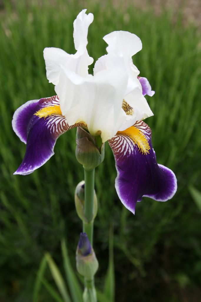Iris Germanica Wabash Iris Flowers Iris Garden Purple Flowers