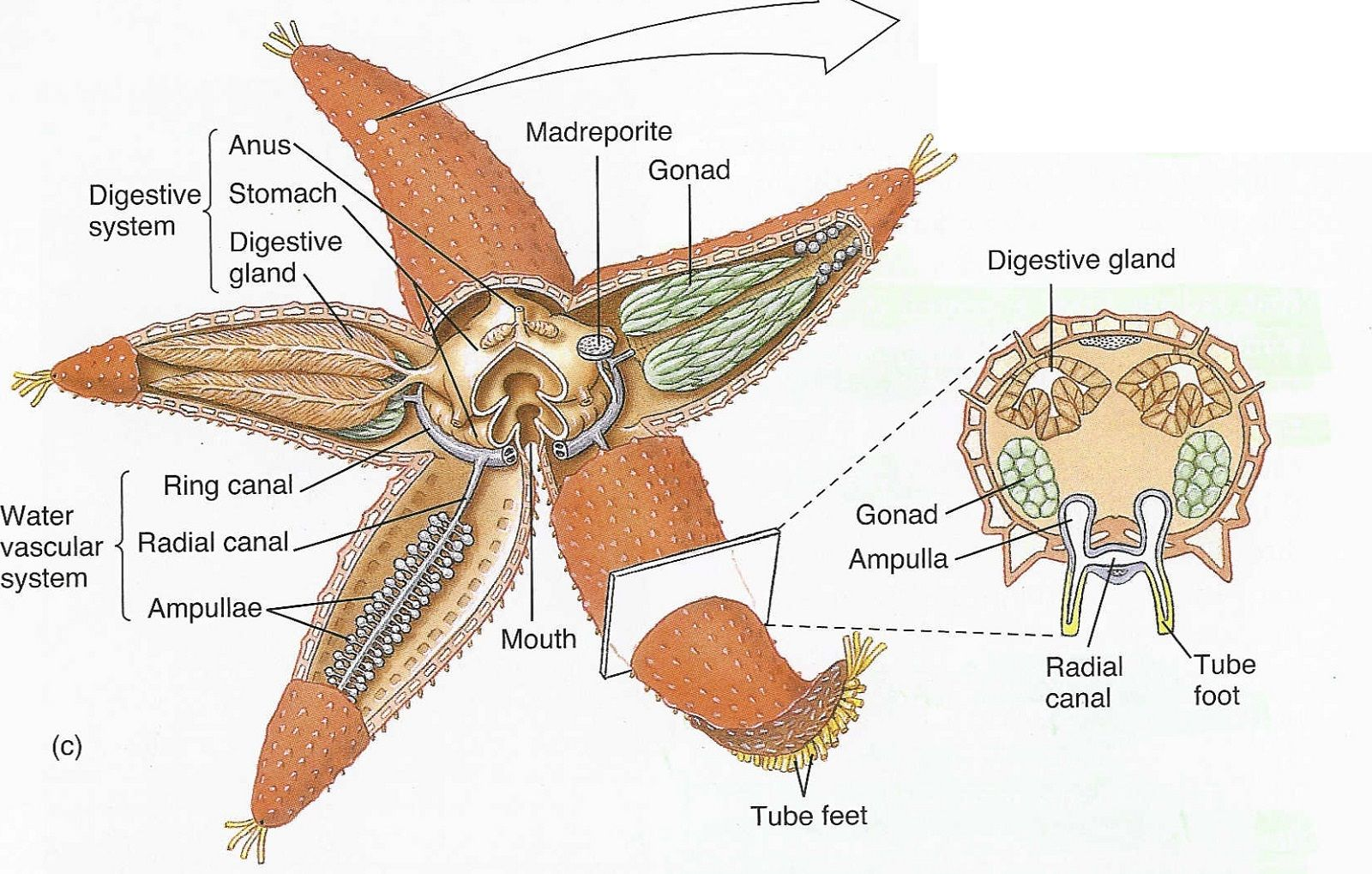 Starfish Diagram Labeled