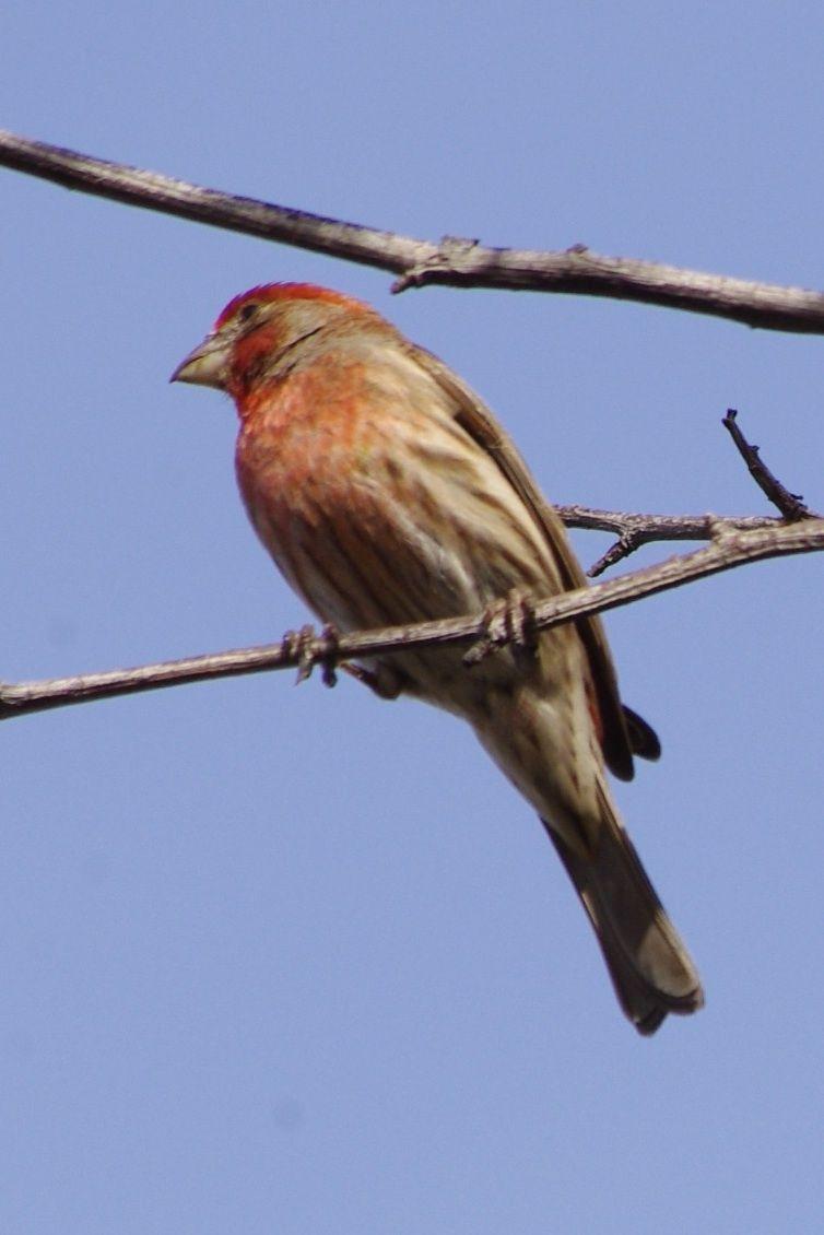house finch backyard birds of southern california pinterest