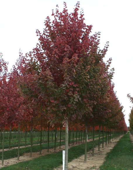 red maple tree zone4 - Bing Images Burgandy Red / replace in front yard.it died over winter.