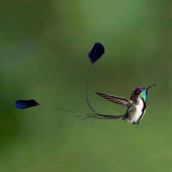 If youre lucky enough to encounter the marvellous #spatuletail youll surely be enchanted by its continuous #wingbeat. This is one of the most beautiful #birds of our planet and they happen to inhabit the #Utcubamba Valley between the #Amazon and the province of San Martin. To take a look at this colorful #hummingbird you may want to travel to the #Huembo #Reserve a conservation area in the city of La Florida in #Pomacochas.  Si tienen la suerte de encontrarse con el maravillloso #colibrí…